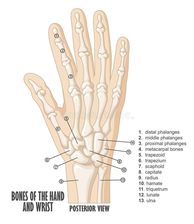 Ben av hand- och handledanatomin vektor illustrationer