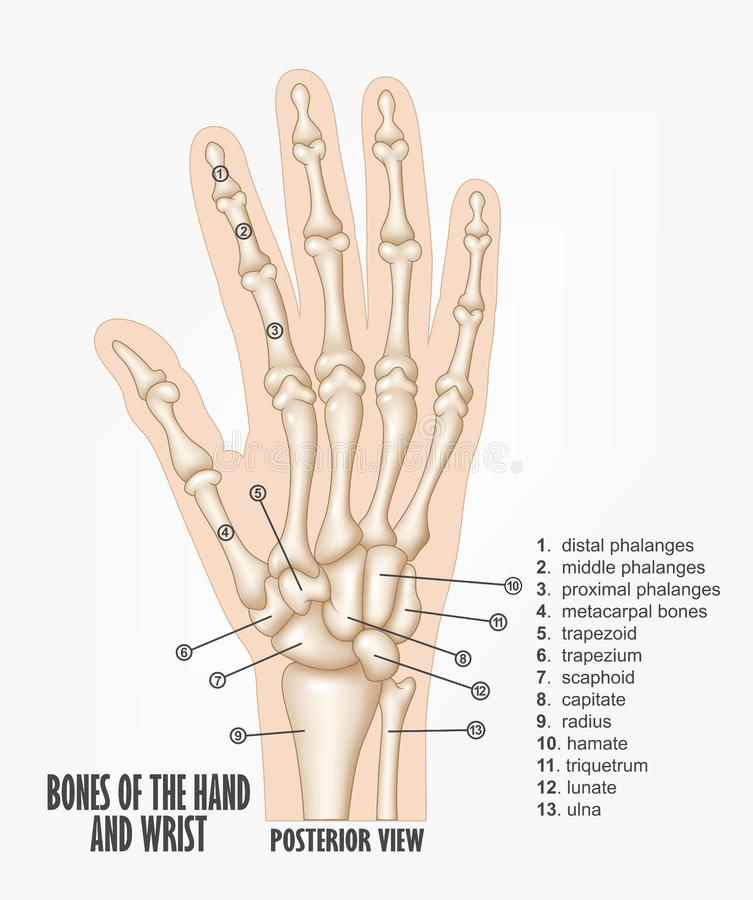 Ben av hand- och handledanatomin royaltyfri illustrationer