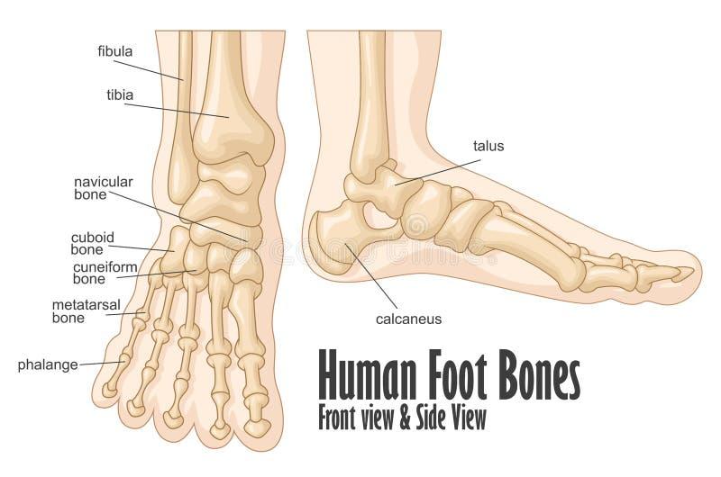 Ben för mänsklig fot anatomi för främre och sidosikt stock illustrationer