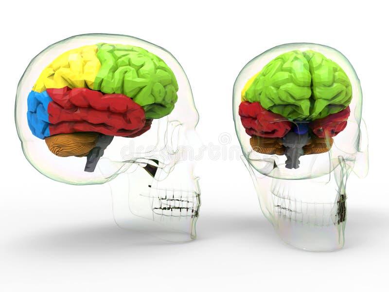 Benadrukte hersenendelen stock illustratie