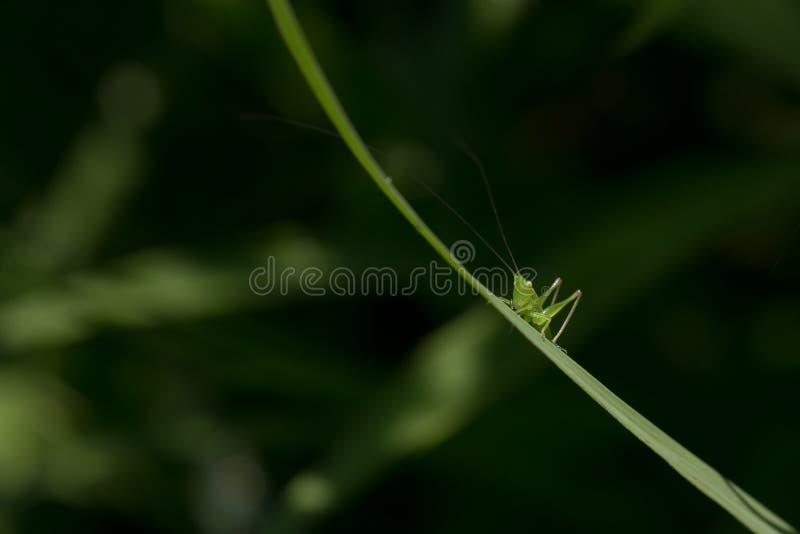 Benadrukte Uiterst kleine Groene Veenmol op Grasblad stock foto's
