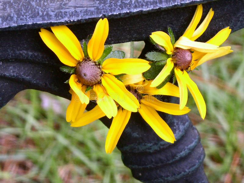 Download Bench & Black eye Susan stock photo. Image of three, black - 8798