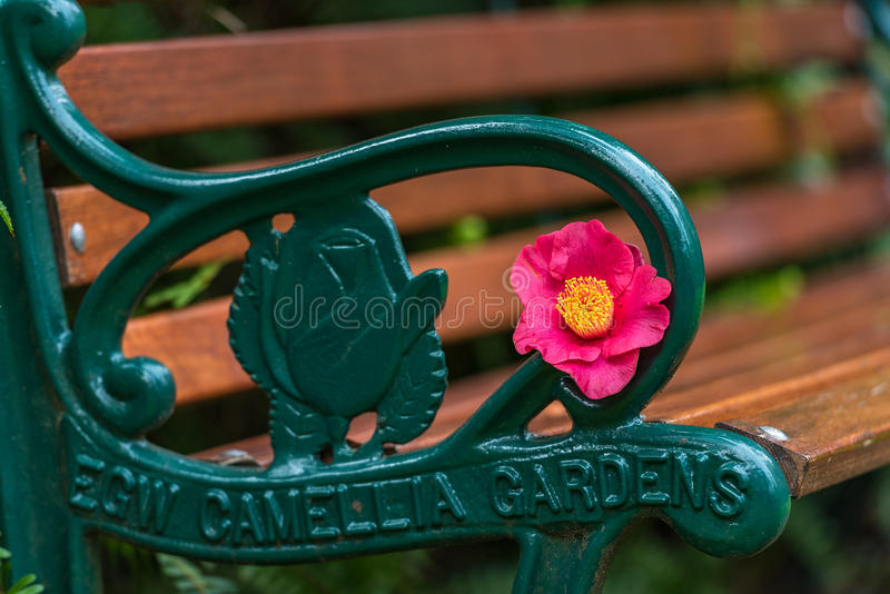 Bench with bright pink and yellow camellia flower. Sydney, Australia - August 6, 2016: Bench with bright pink and yellow camellia flower in National Camellia stock image