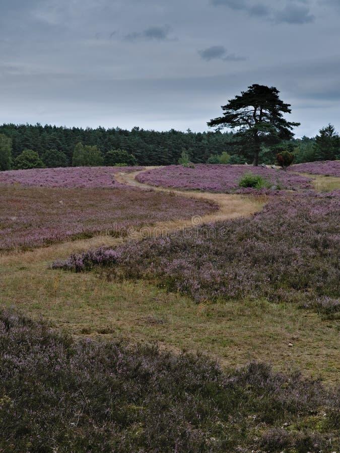 Bench and flowering heathland near Amelinghausen in the Lueneburg Heath. Plant, pink, heather, calluna, vulgaris, freshness, still, natural, vibrant, warm royalty free stock photo
