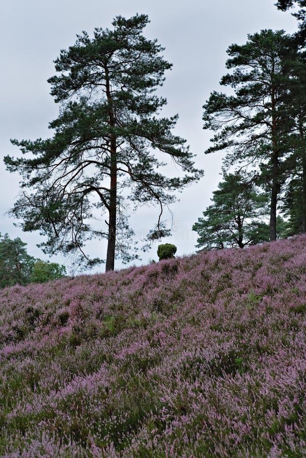 Bench and flowering heathland near Amelinghausen in the Lueneburg Heath. Plant, pink, heather, calluna, vulgaris, freshness, still, natural, vibrant, warm stock photography