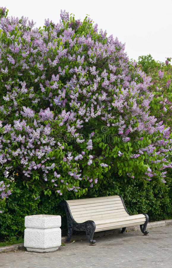 Bench near the lilac bush. In the park stock photography