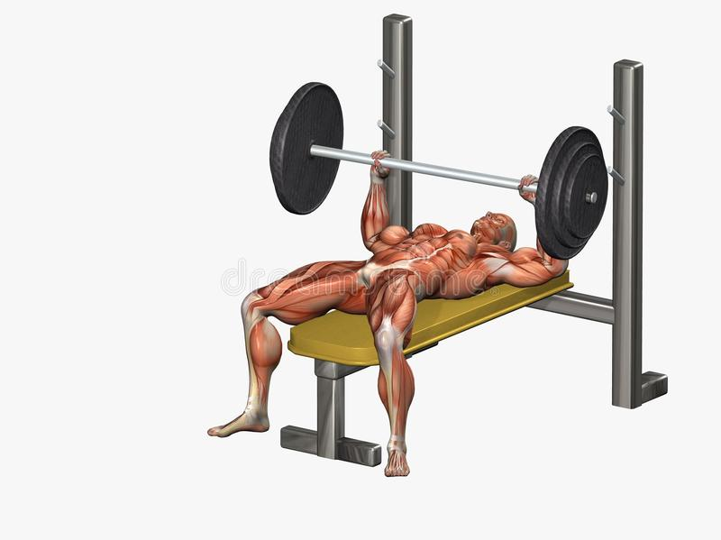 Download Bench press stock illustration. Image of human, exercising - 13183499