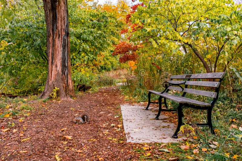 Bench on Nature Trail during Autumn with a Squirrel. A bench on a trail near North Pond in Lincoln Park Chicago with a squirrel during autumn stock photo