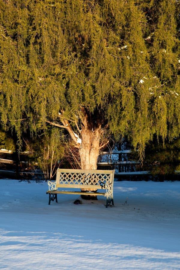 Download Bench Under Large Conifer Tree Stock Image - Image: 12893169