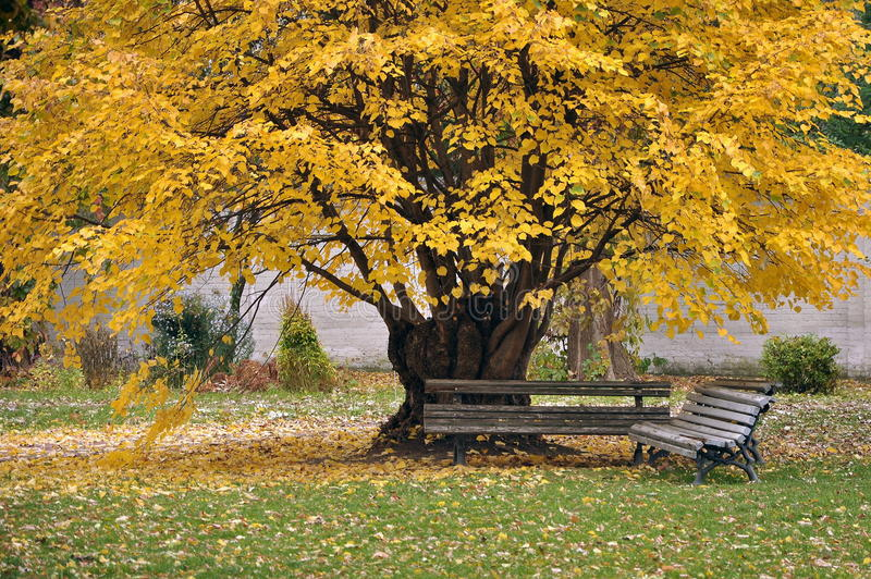 Bench under a large tree, yellow leaf. Autumn stock photos
