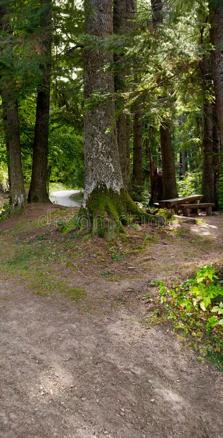A bench and a wooden table seen in a cedar and fir trees forest stock photo