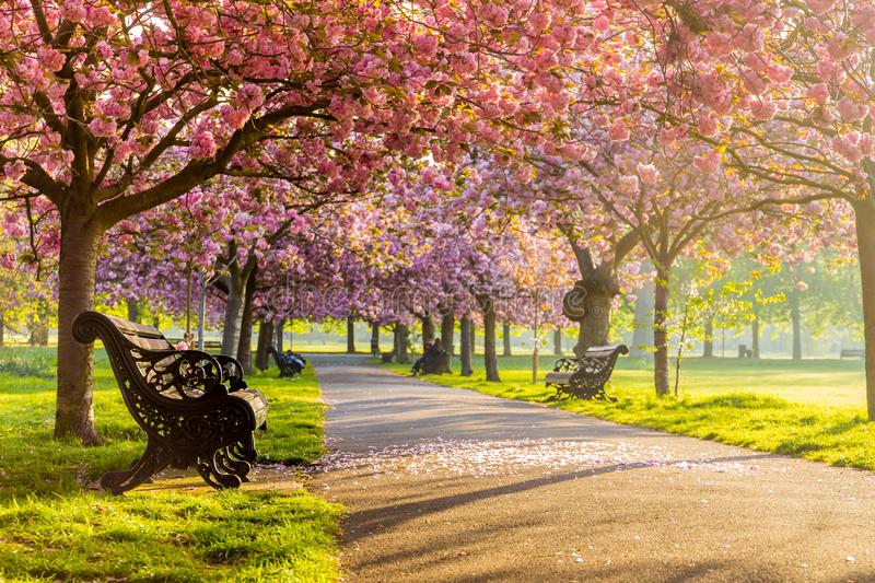 Benches on a path with green grass and cherry blossom or sakura flower. royalty free stock photography