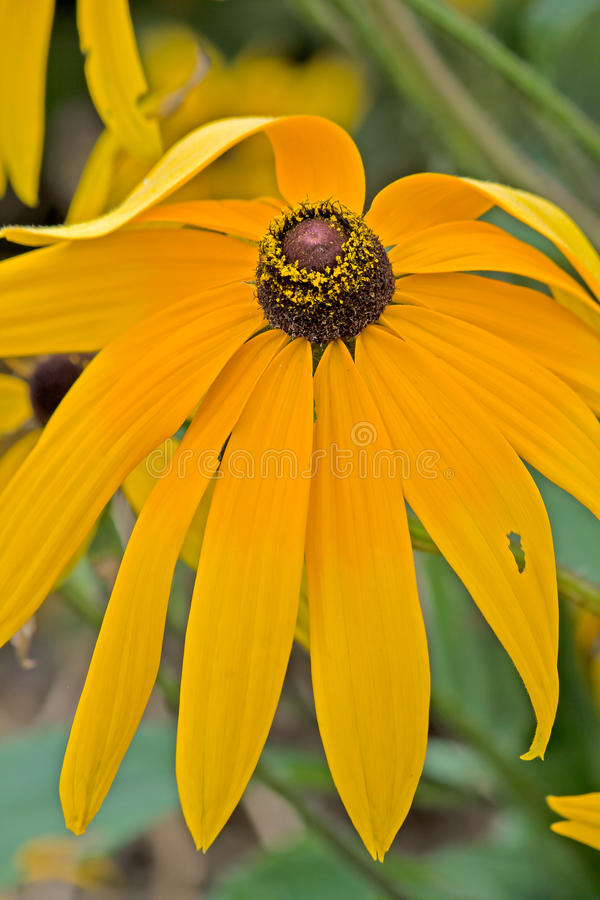 The bending of the black chrysanthemum flower stock photography