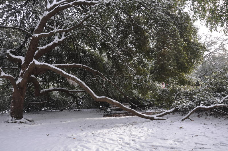 Bending Tree Branches in the Snow. A tree bowed over, covered with snow, with large branches resting on the ground, surrounding empty park benches royalty free stock image