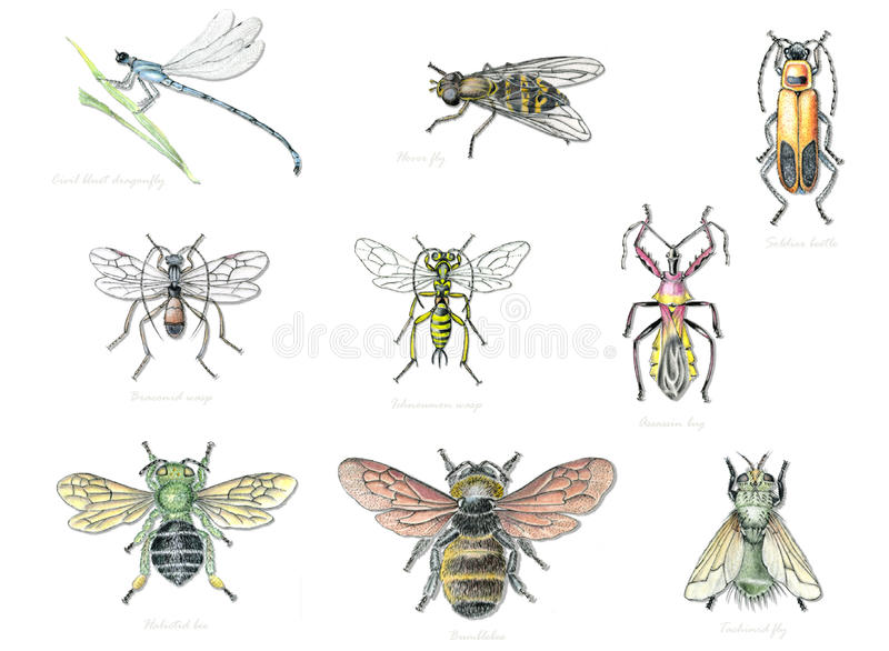 Download Beneficial Garden Insects 2 Stock Illustration   Illustration Of  Insect, Darner: 24107225