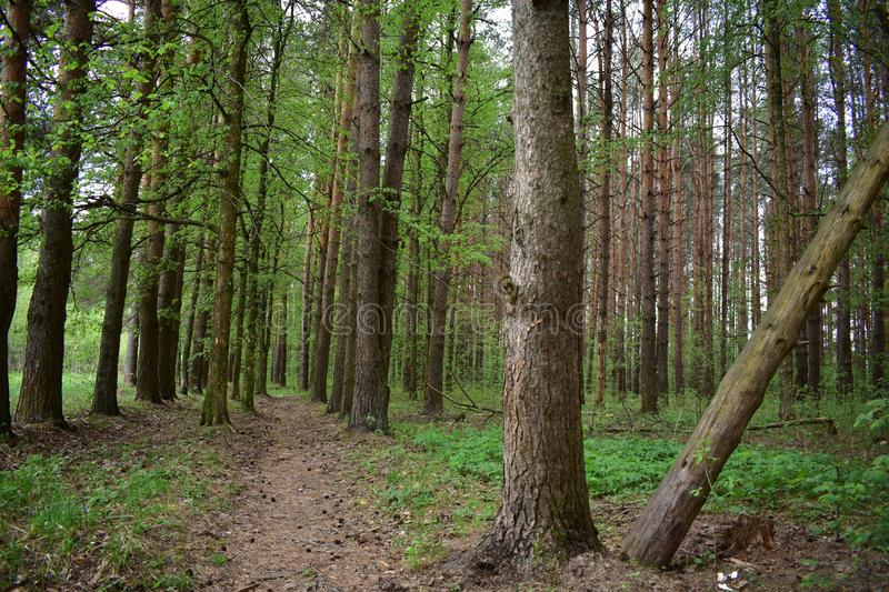 The benefits of pine forests for human health pine trees will always remain fashionable and in demand. Strict forms of coniferous trees stock photos
