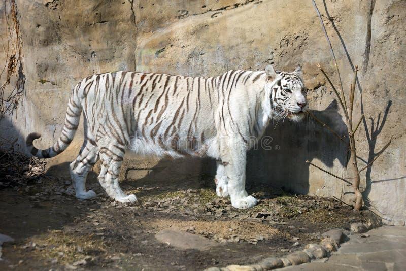 Bengaalse (witte) tijger stock foto's