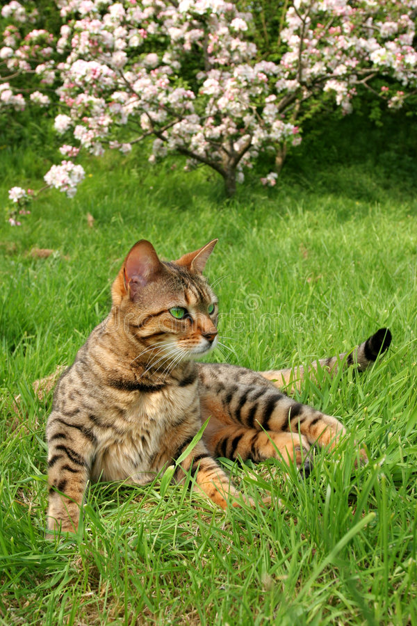 Bengail Cat. Bengali special breed cat sitting on the grass with apple blossom out of focus to the rear royalty free stock images