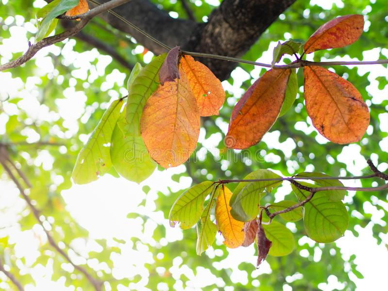 Bengal almond leaves Green and brown, Indian Almond, Sea Almond, Singapore Almond, Tropical Almond, Olive-Bark Tree stock images