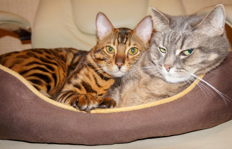 Bengal and british cats double pet portret. Bengal and british cats lying. Double pet portret stock photos