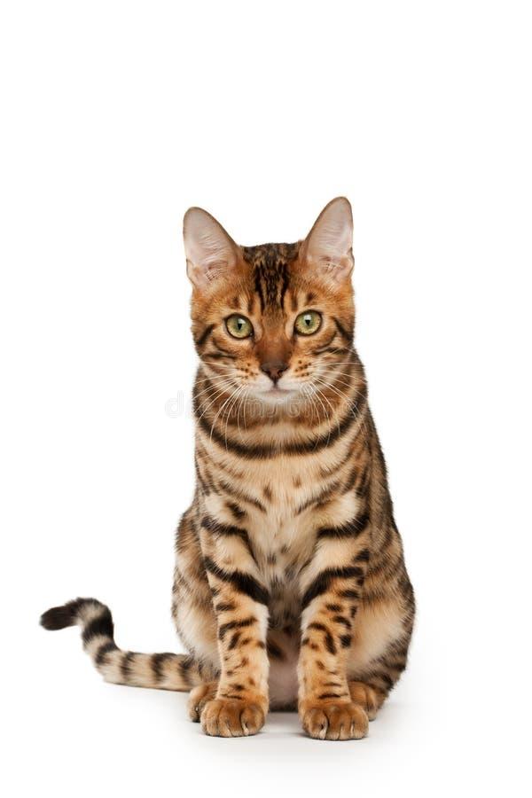 Free Bengal Cat Stock Images - 11335224