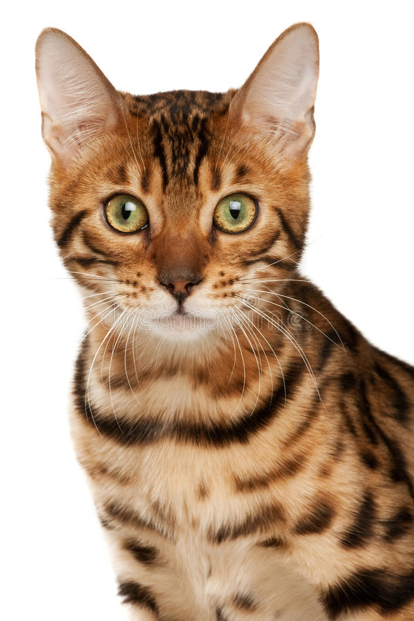 Download Bengal cat stock image. Image of bengal, kitty, feline - 11431999