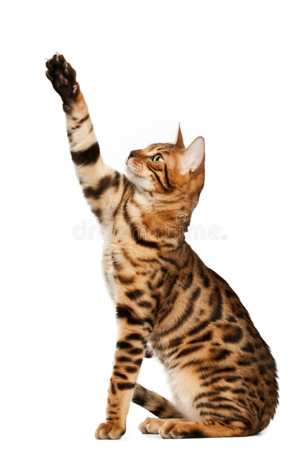 Bengal cat. On white background