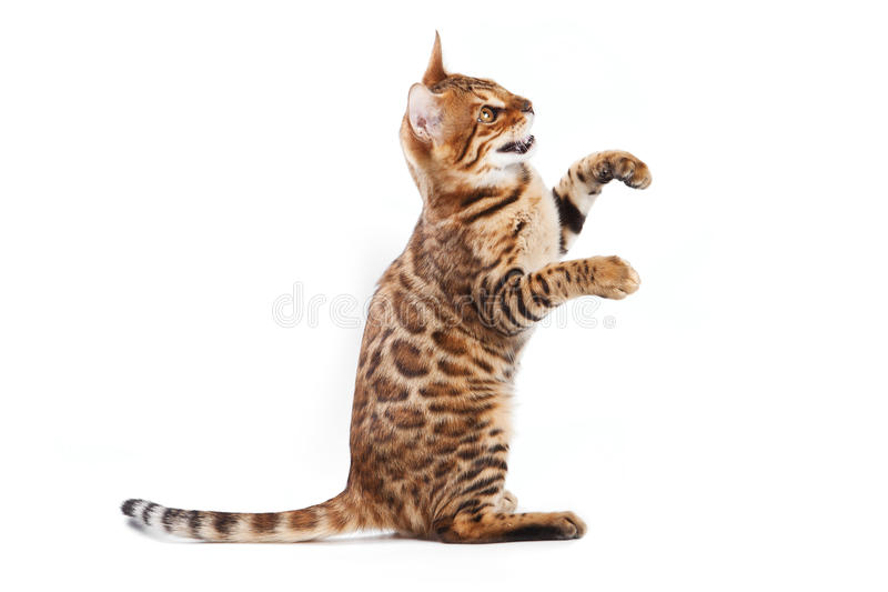Download Bengal cat stock photo. Image of spotty, adorable, horizontal - 20366868