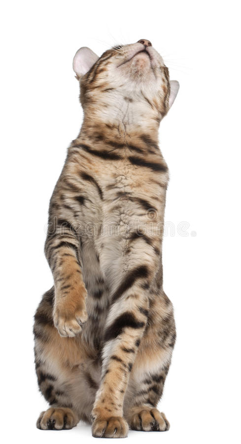 Download Bengal Cat, 7 Months Old, Looking Up Stock Image - Image of copy, kitten: 18989861