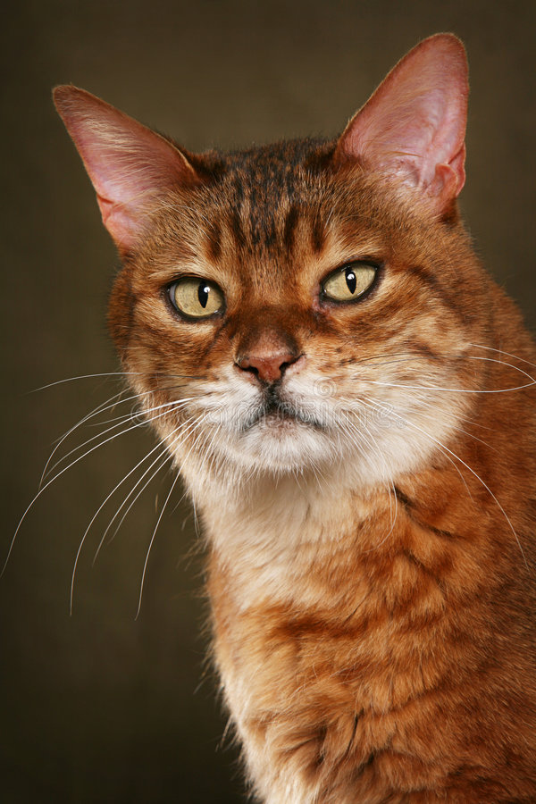 Bengal cat. Looking at camera, olive background royalty free stock images