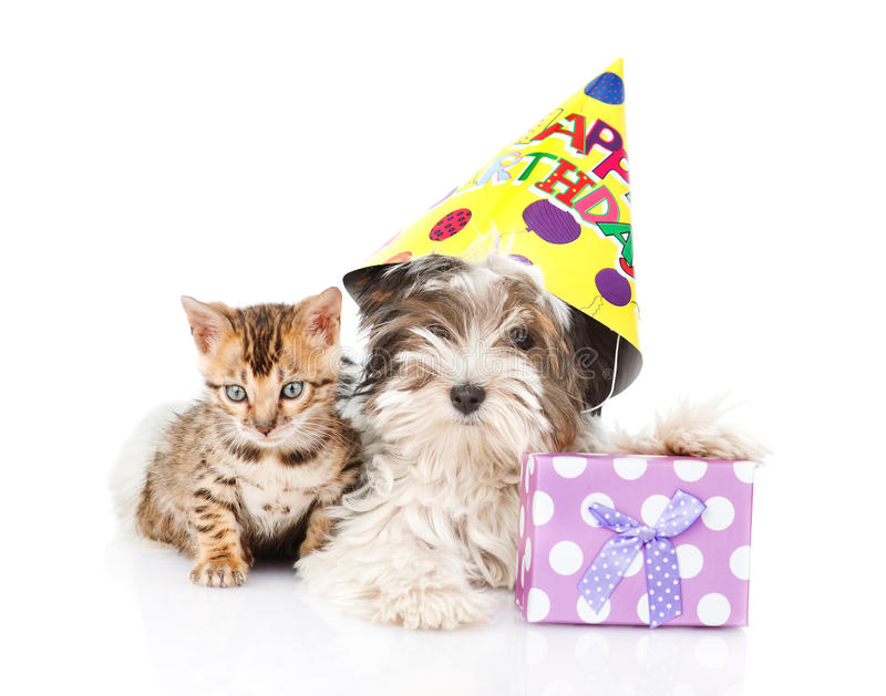Bengal cat and Biewer-Yorkshire terrier puppy with birthday hat. isolated on white.  stock image