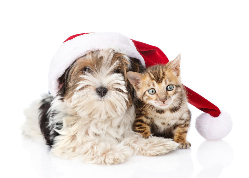 Bengal cat and Biewer-Yorkshire terrier puppy with red santa hat. isolated on white stock photos