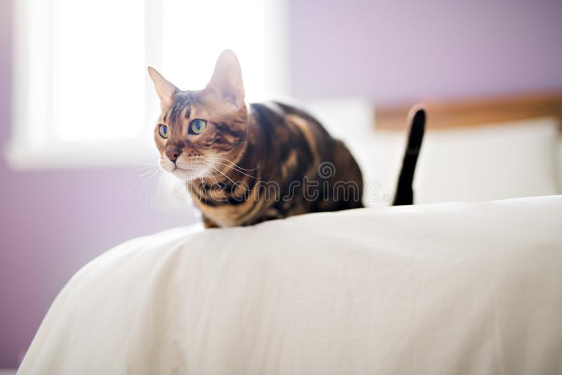 Bengal cat on a blanket with green eyes stock photography