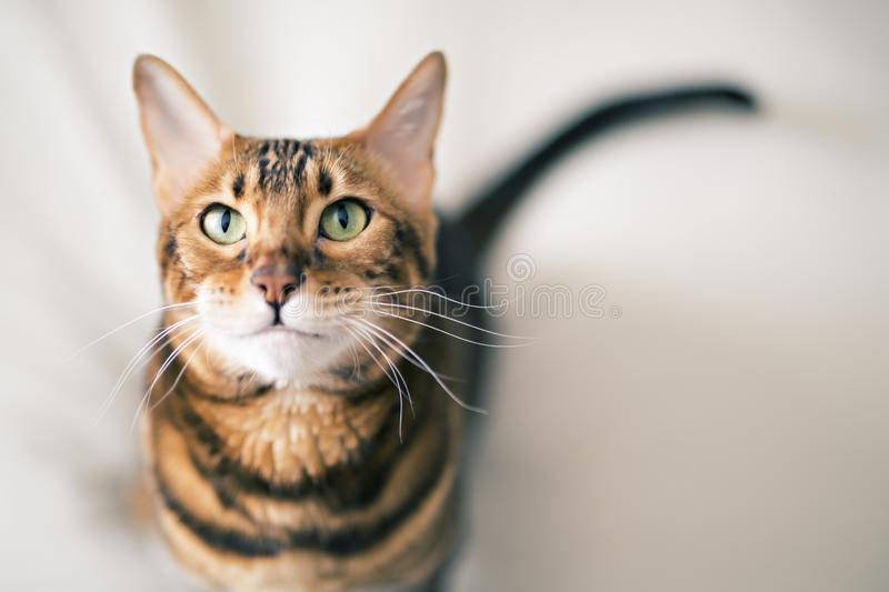 Bengal cat on a blanket with green eyes royalty free stock photos