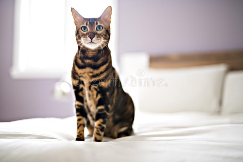 Bengal cat on a blanket with green eyes royalty free stock images