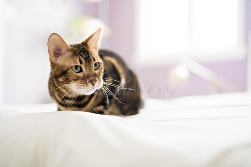 Bengal cat on a blanket with green eyes royalty free stock image