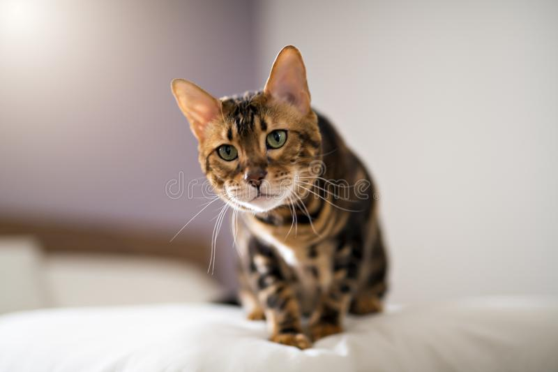 Bengal cat on a blanket with green eyes stock photos