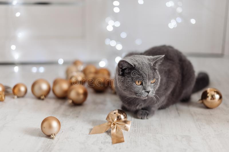Bengal cat on a Christmas tree background playing with golden balls and toys looking for presents stock photos