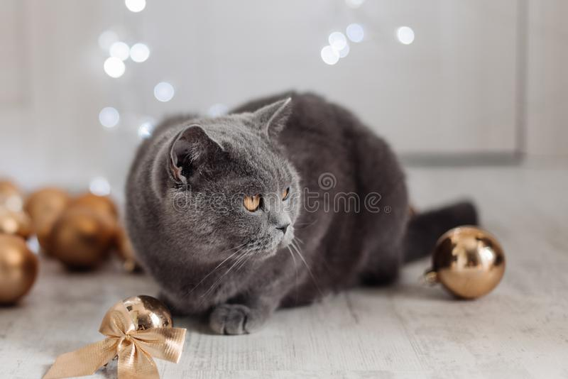Bengal cat on a Christmas tree background playing with golden balls and toys looking for presents stock photo