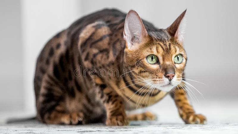 A Bengal cat crouching on the floor looking across a room. A Bengal cat crouching on a carpet looking across the room with beautiful green eyes stock image