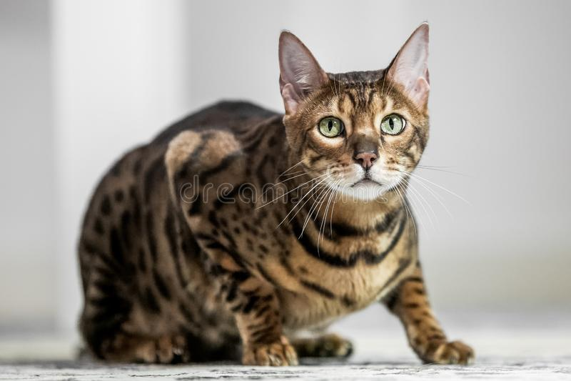 A Bengal cat crouching on the floor looking at the camera. A Bengal cat crouching on a carpet looking at the camera royalty free stock image