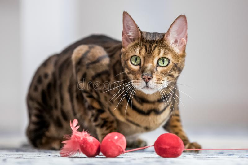 A Bengal cat crouching on the floor with a red soft toy. A Bengal cat crouching on a carpet looking across a red soft toy stock images
