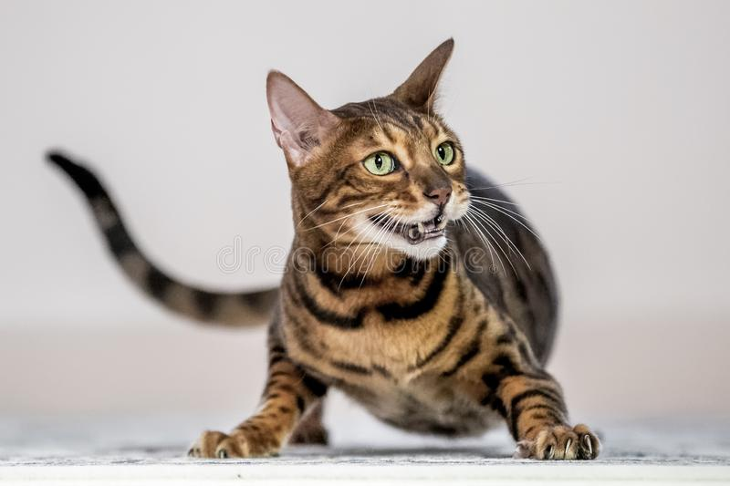 A Bengal cat crouching with mouth open showing its teeth. A Bengal cat crouching with its mouth open looking off camera with a long tail stock photo