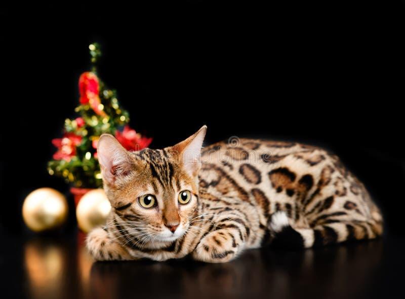 Bengal cat on dark background royalty free stock photo