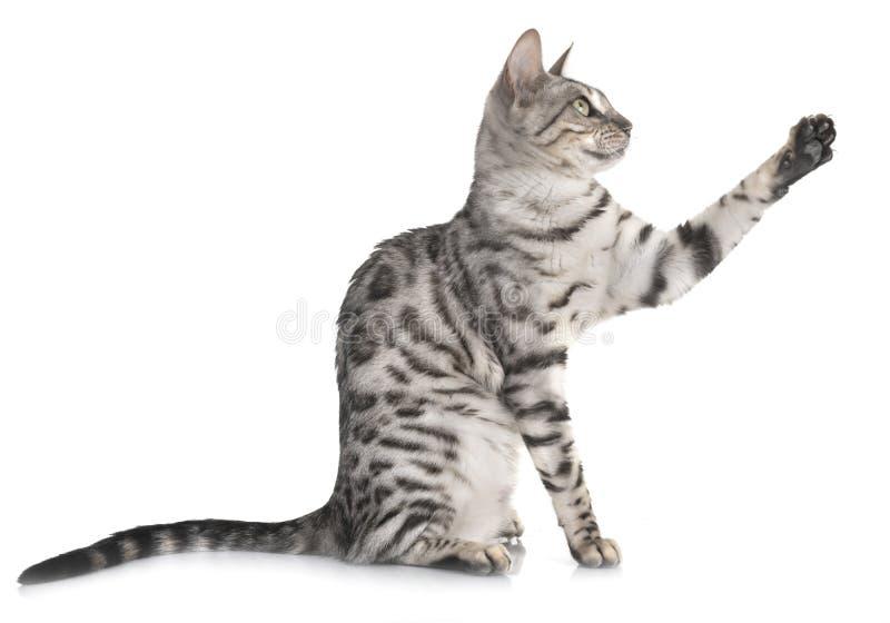 Bengal cat en studio photos stock