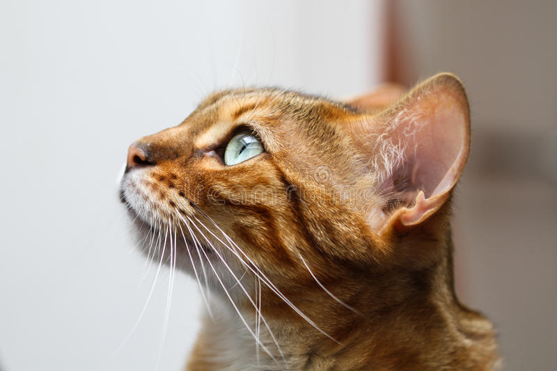 Bengal Cat (Felis catus - Prionailurus bengalensis) head in profile stock photography