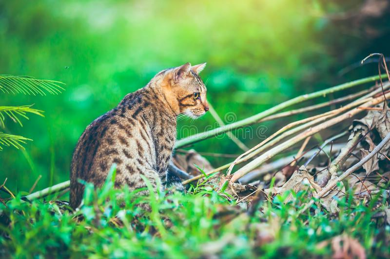 Bengal cat go hunting in forest. Outdoor with bright sunlight. stock images