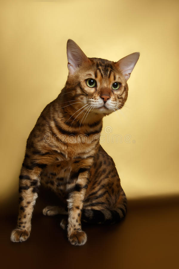 Bengal Cat on Gold background and Looking in stock images