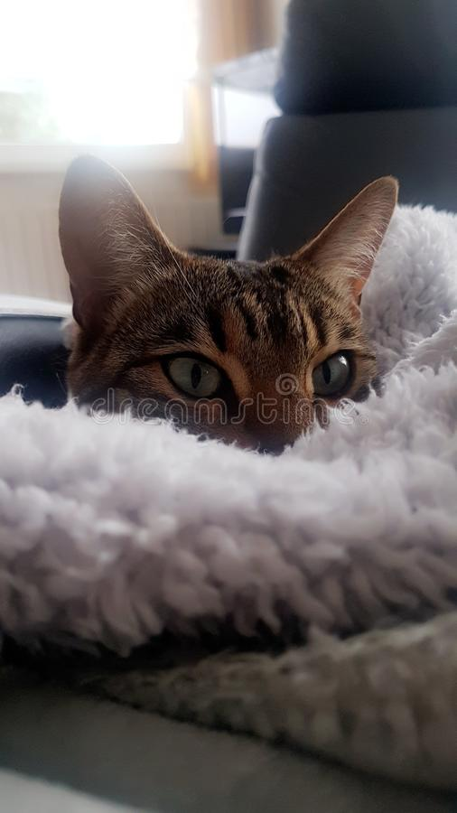 Bengal cat hiding under a blanket royalty free stock image