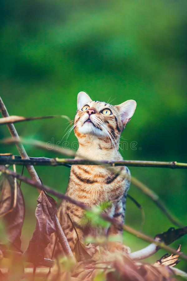 Bengal cat hunting in forest. Outdoor with bright sunlight. stock images